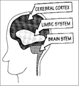 Sections of the human brain, as they relate to the trauma response